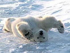 Les ours polaires en danger2